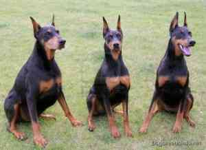 Doberman Pinscher 8 300x218 EQUIVALENT AGES OF DOG AND MAN