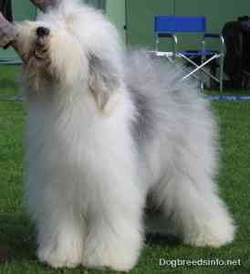 Old English Sheepdog 3 274x300 The pupil must now learn that you will not always walk straight ahead
